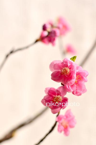 桃の花 フラワーアレンジメント ひな祭り