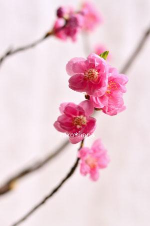 フラワーアレンジメント 桃 ひな祭り